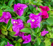 Bougainvillea flower in the garden Stock Images