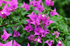 Bougainvillea flower Stock Images