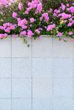 Bougainvillea flower on gray wall Stock Photography