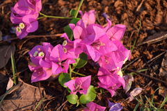 Bougainvillea. Flower on the ground Royalty Free Stock Images