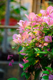 Bougainvillea flower Royalty Free Stock Images