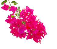 Bougainvillea flower isolated on white background Stock Images