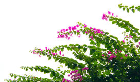 Bougainvillea flower isolated Royalty Free Stock Photography
