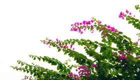 Bougainvillea flower isolated Royalty Free Stock Images