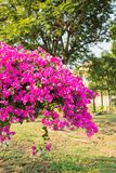 Bougainvillea flower with leaf Royalty Free Stock Images