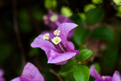 Bougainvillea flower. One bougainvillea flower close up and represent detail of leaf Royalty Free Stock Photos