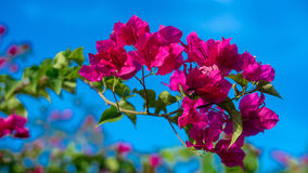 Bougainvillea flower Royalty Free Stock Photos