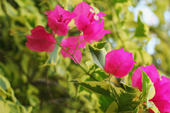 Bougainvillea flower - pink flowers. Royalty Free Stock Images