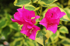 Bougainvillea flower - pink flowers. Royalty Free Stock Image