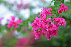 Bougainvillea flower Stock Photography