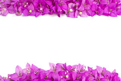 Bougainvillea flower. Pink Bougainvillea flower frame isolated on white background Stock Photo