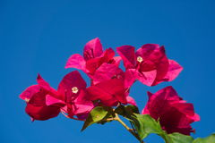 Bougainvillea Flower. Pink-Orange bougainvillea against the bright blue sky Stock Photos