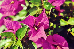 Bougainvillea flower. Bougainvillea purple flower in Turkey Stock Images