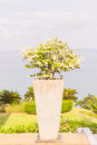 Bougainvillea flower with sea and sky background. Bougainvillea flower in square jar with sea and sky background Stock Image