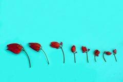 ฺBougainvillea flower. Several flowering bougainvillea are taken to arrange to show the growth of the flower in different phases Stock Images