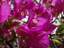 Bougainvillea. The flower of South East Asia stock image