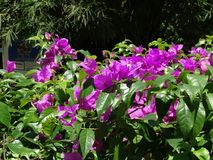 Bougainvillea. The flower of South East Asia stock photo