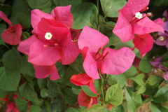 Bougainvillea flower from Thailand. Colorful of flower, bougainvillea flower with leaf Royalty Free Stock Image