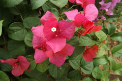 Bougainvillea flower from Thailand. Colorful of flower, bougainvillea flower with leaf Royalty Free Stock Photos