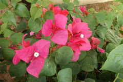 Bougainvillea flower from Thailand. Colorful of flower, bougainvillea flower with leaf Stock Photo