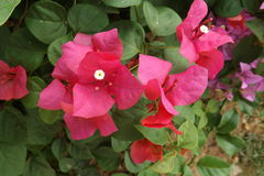Bougainvillea flower from Thailand. Colorful of flower, bougainvillea flower with leaf Stock Image