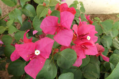 Bougainvillea flower from Thailand. Bougainvillea flower red from garden Thailand Royalty Free Stock Image