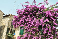 Bougainvillea flower on wall of hause in Sirmione Stock Images
