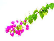 Bougainvillea. Flower white background in Thailand Stock Photo