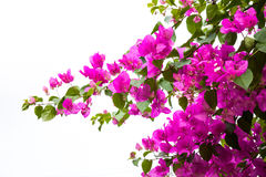Bougainvillea flower on white Royalty Free Stock Photos