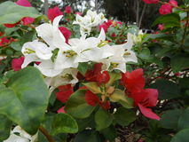 Bougainvillea flower white and red. Bougainvillea flower with leaf White and Red Royalty Free Stock Photo