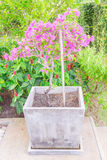 Bougainvillea flower. Young Bougainvillea flower in square jar Royalty Free Stock Photography