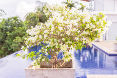 Bougainvillea flower. Young Bougainvillea flower in square jar and pool background Stock Photography
