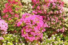 Bougainvillea, flowering Royalty Free Stock Photos