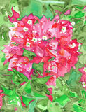 Bougainvillea Flowering Plant Watercolor. Magenta Bougainvillea flowering plant watercolor with bright green foliage Stock Photos