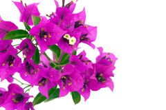 Bougainvillea Flowers Royalty Free Stock Images