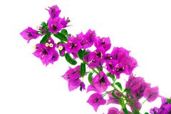 Bougainvillea Flowers. Branch Isolated on White Background stock photos
