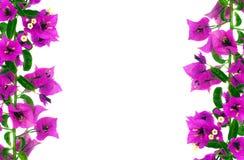 Bougainvillea Flowers. Purple bougainvillea flowers as background stock photos