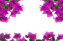Bougainvillea Flowers. Branch Isolated on White Background royalty free stock image