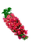 Bougainvillea Flowers. Bougainvillea with pink blossoms isolated on white background stock photo