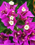 Bougainvillea flowers Royalty Free Stock Photos