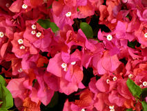 Bougainvillea Flowers. Oahu, Hawaii Royalty Free Stock Image