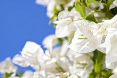 Bougainvillea flowers Stock Photography