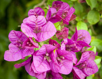 Bougainvillea Flowers Stock Photos