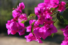 Bougainvillea Flowers. Beautiful bougainvillea flowers backlit by afternoon sun Stock Images
