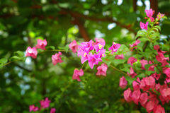 Bougainvillea flowers Royalty Free Stock Photography