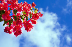 Bougainvillea flowers against the bright blue sky with white clouds. A branch of pink bougainvillea flowers against the bright blue sky with white clouds royalty free stock image