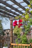 Bougainvillea flowers against a wooden pergola stock photography