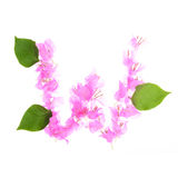 Bougainvillea flowers alphabet isolated on white background royalty free stock image
