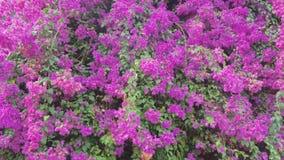 Bougainvillea Flowers Bloom stock video