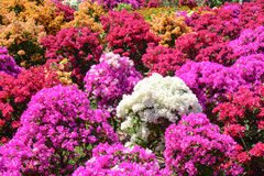 Bougainvillea flowers blooming at garden Royalty Free Stock Image